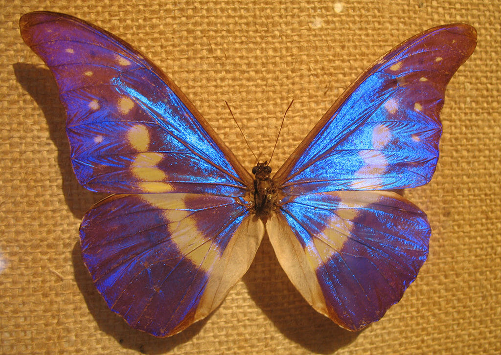 A mounted blue morpho