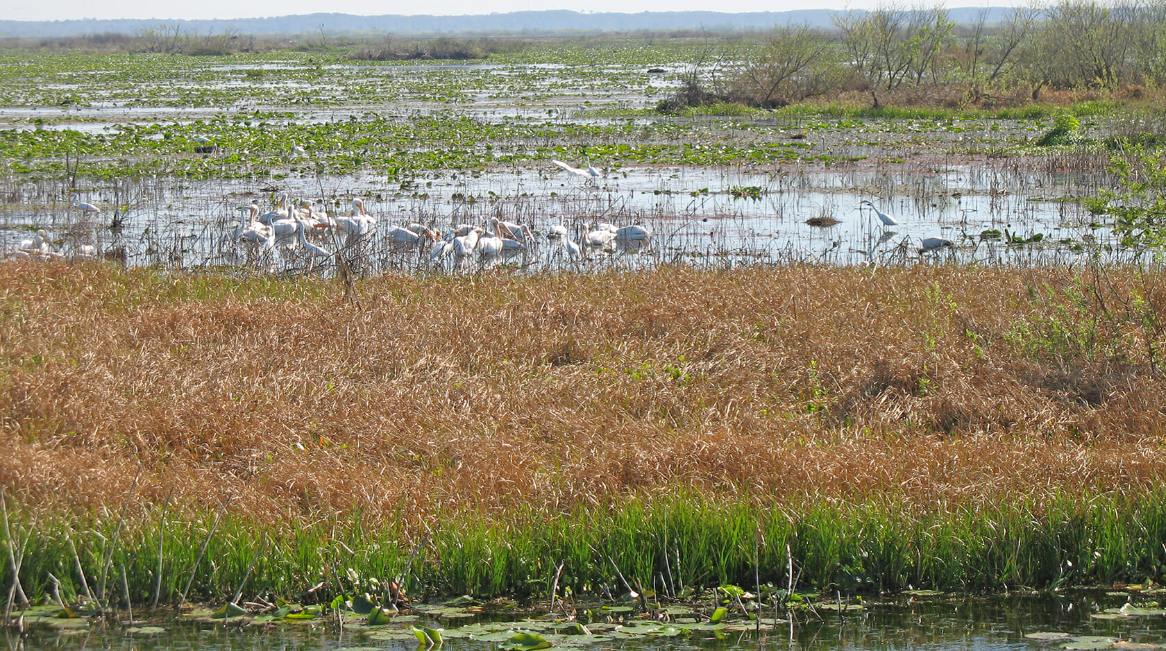 White pelicans at Paynes Prairie