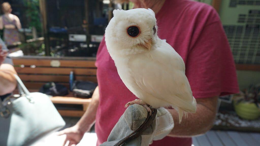 Luna white owl