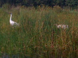 Whooping cranes at International Crane Foundation