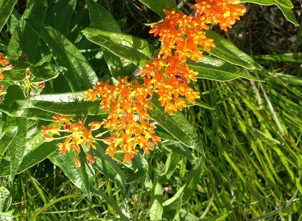 Butterfly milkweed in Iowa prairie