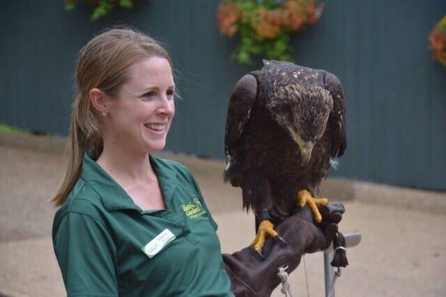 Busch Gardens Juvenile bald eagle