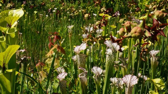 Densely packed carnivorous plants