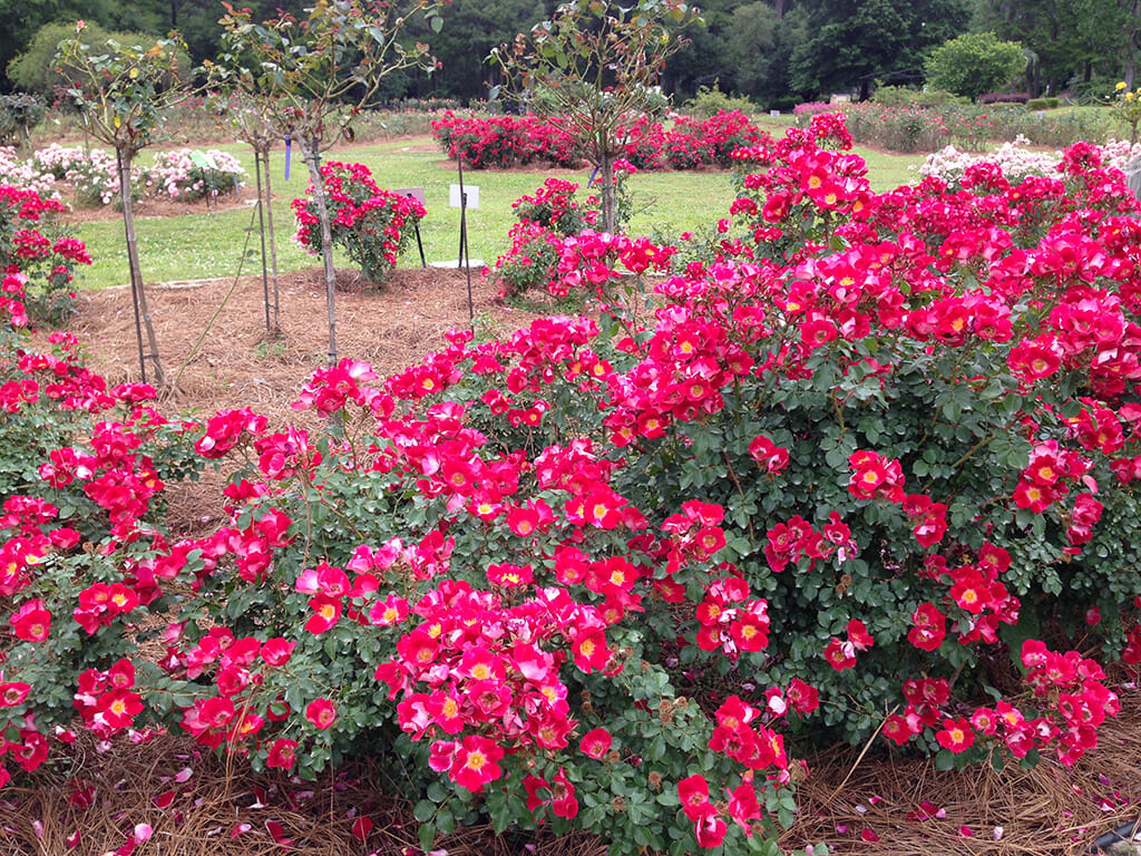 Rose-Colored Memories at Edisto Memorial Gardens