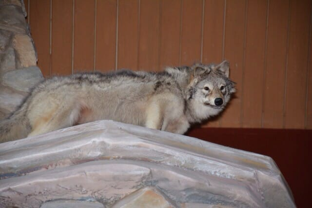 Great Wolf Lodge taxidermy