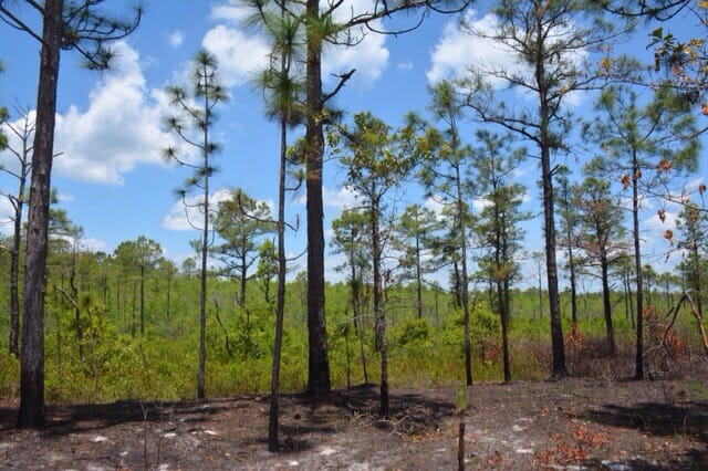 Laurel bayhead below the pines