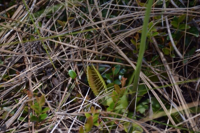 My first wild Venus flytrap find