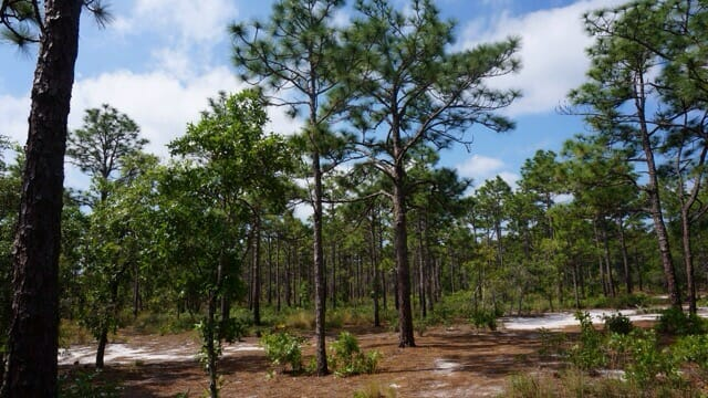 Pine uplands at Carolina Beach State Park