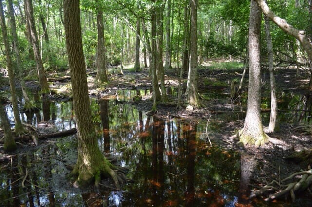 Pocosin swamp at Carolina Beach State Park