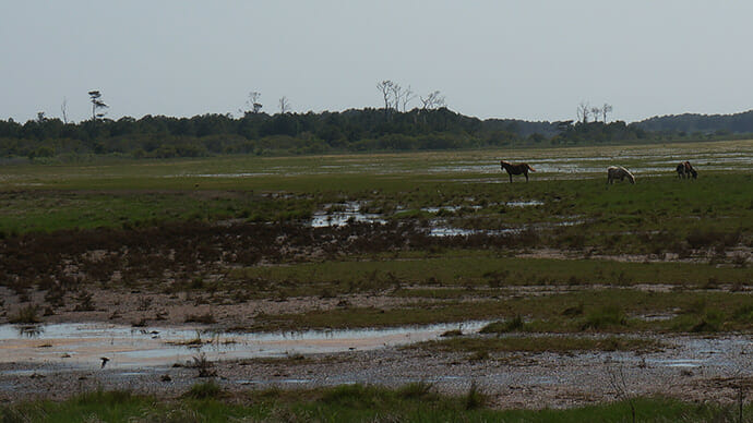 Ponies on the marsh
