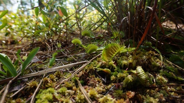 Venus flytraps at Carolina Beach
