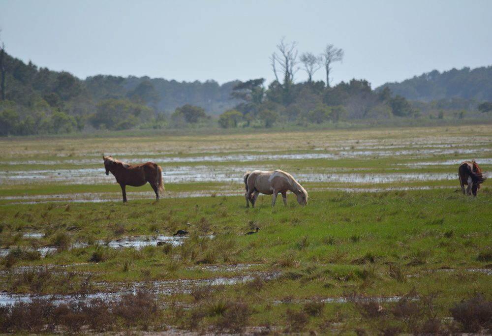 Wild ponies at Chincoteague NWR