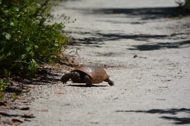 gopher tortoise on Saylor Trail
