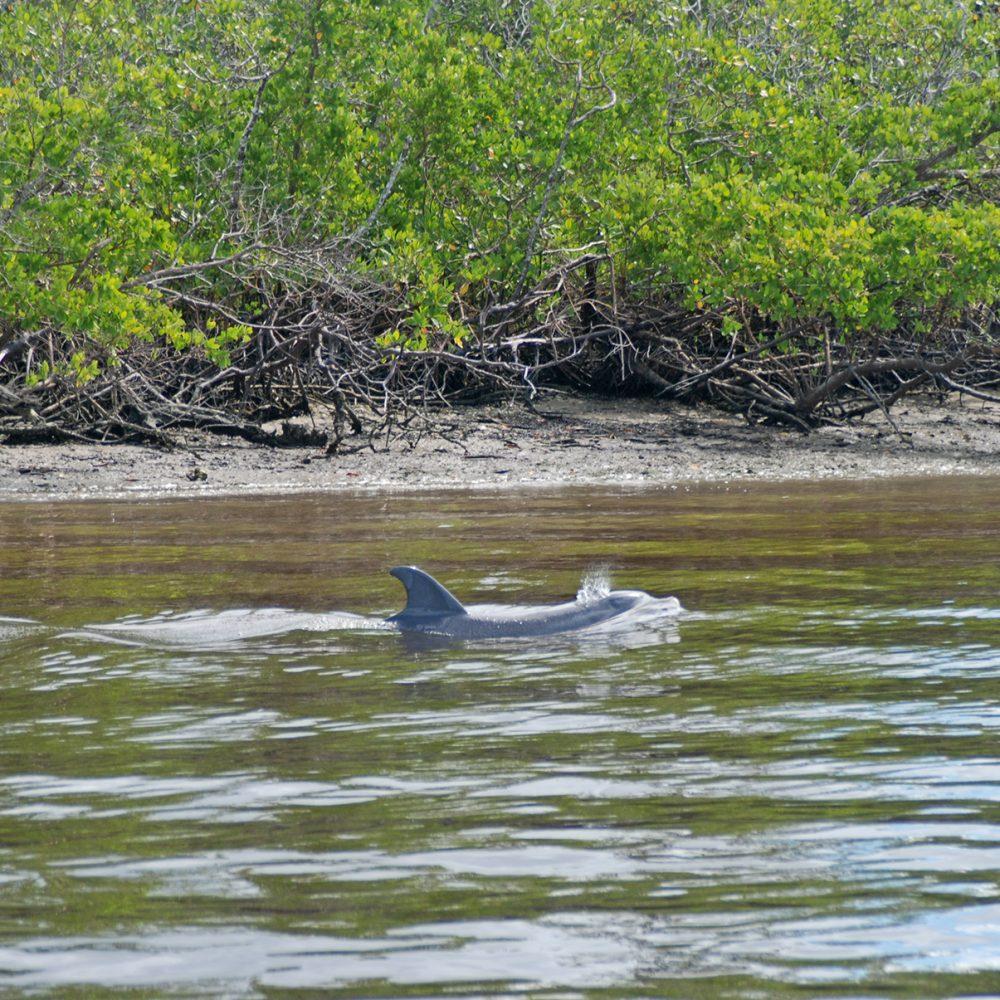 Dolphin near Keewaydin Island