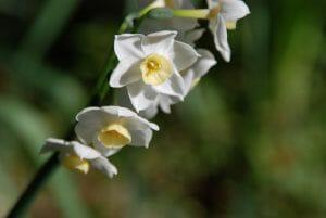 Daffodil at Goodwood