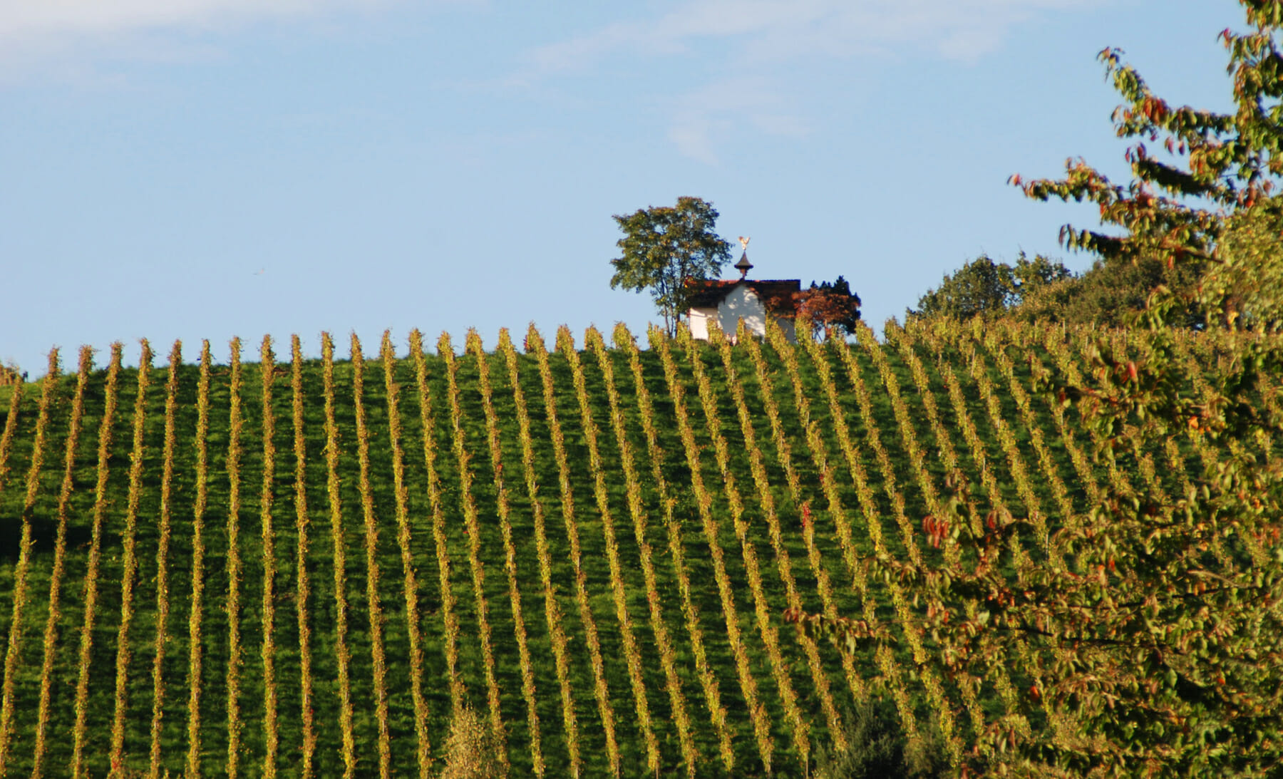 Vineyard in Baden-Baden