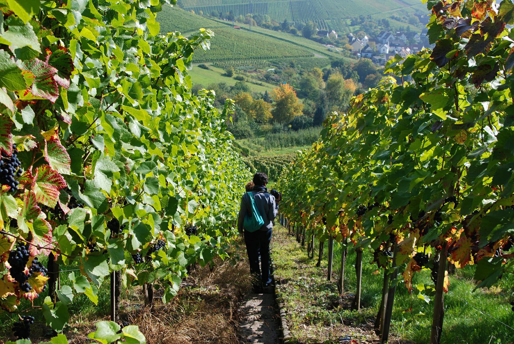 Jordan Winery Summer Vineyard Hike | Best Hiking Sonoma |Hiking Wine