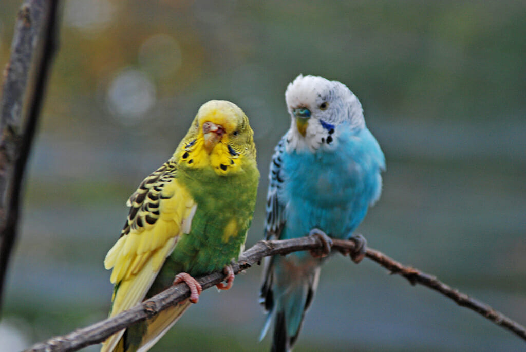 Budgies at Marlow