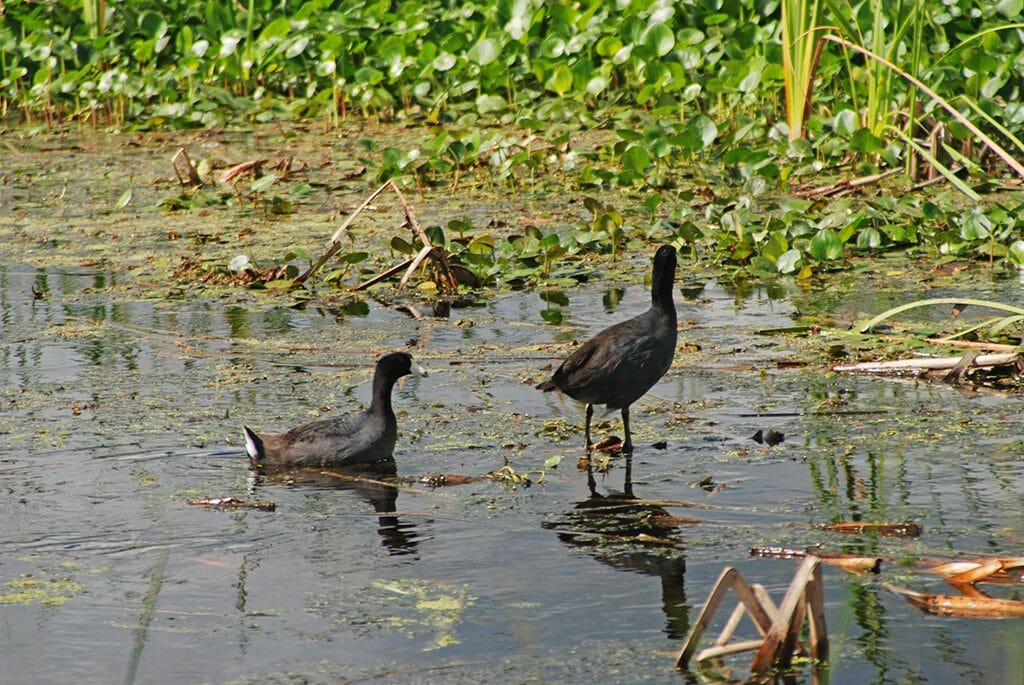 American coots at Orlando Wetlands Park