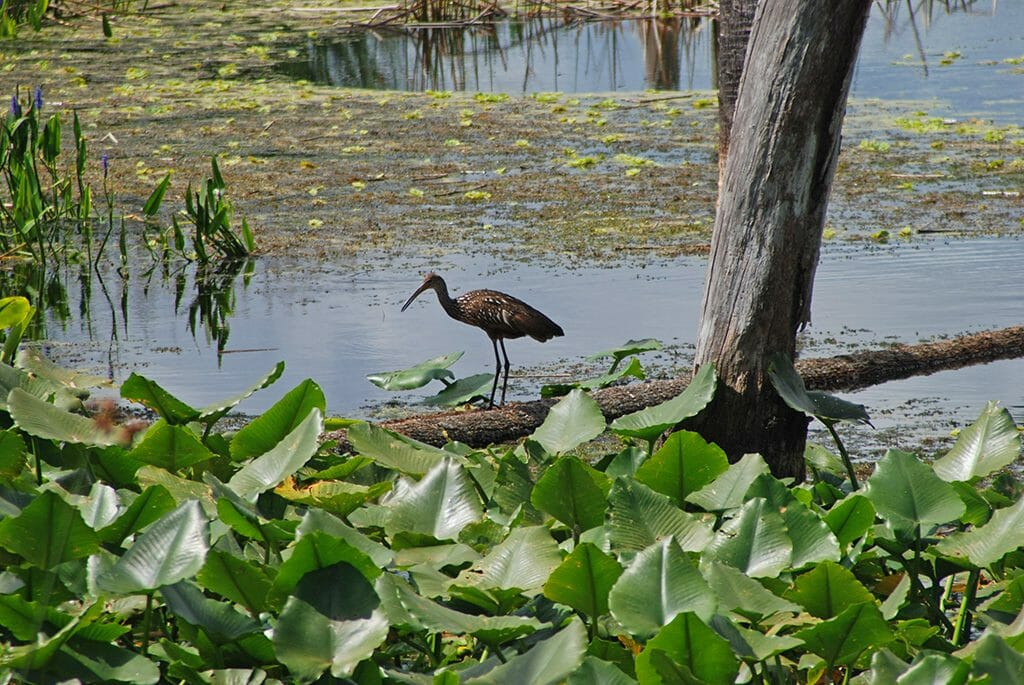 Limpkin at Orlando Wetlands Park