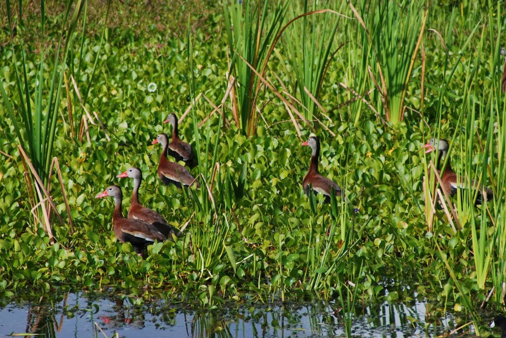 Fulvous whistling ducks at Orlando Wetlands Park
