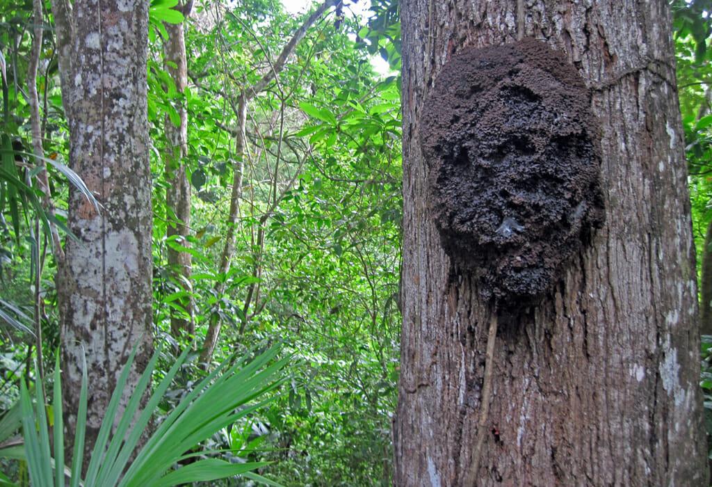 Termite nest Panama
