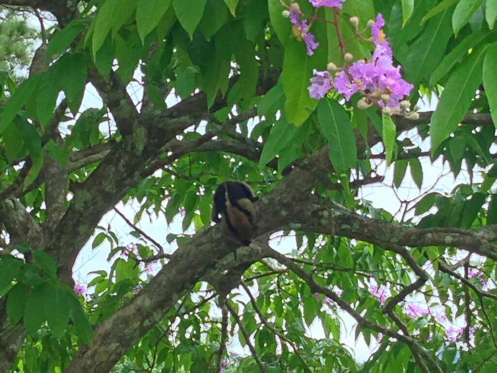Anteater in Panama