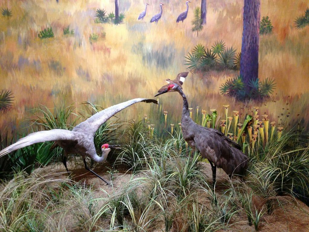 Mississippi sandhill cranes