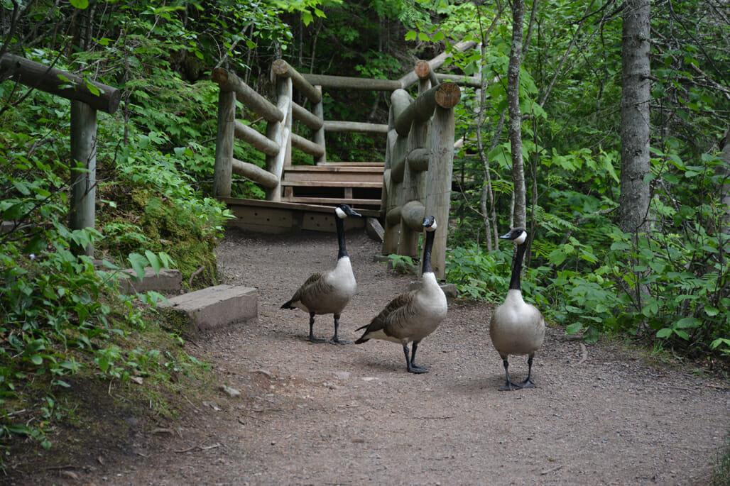 Canada geese on trail