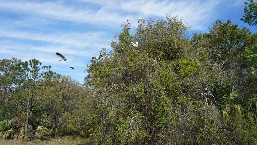 Wood storks in flight at Orlando Wetlands Park