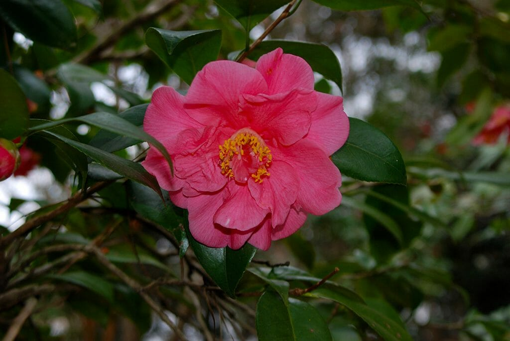Camellia at Magnolia Gardens