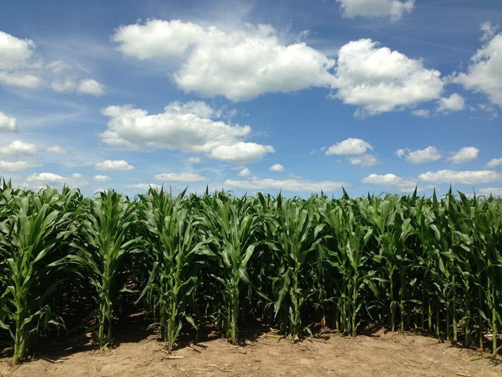 Field of Dreams cornfield
