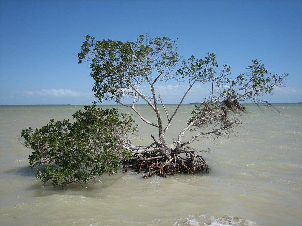 Mangrove at Flamingo