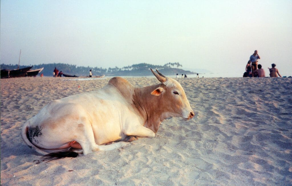 Sacred cow India on the beach