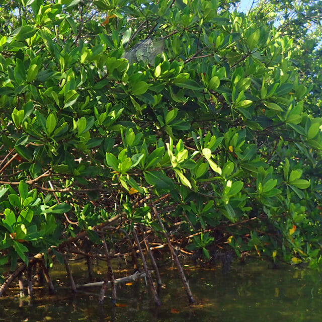Wildlife in the Mangroves