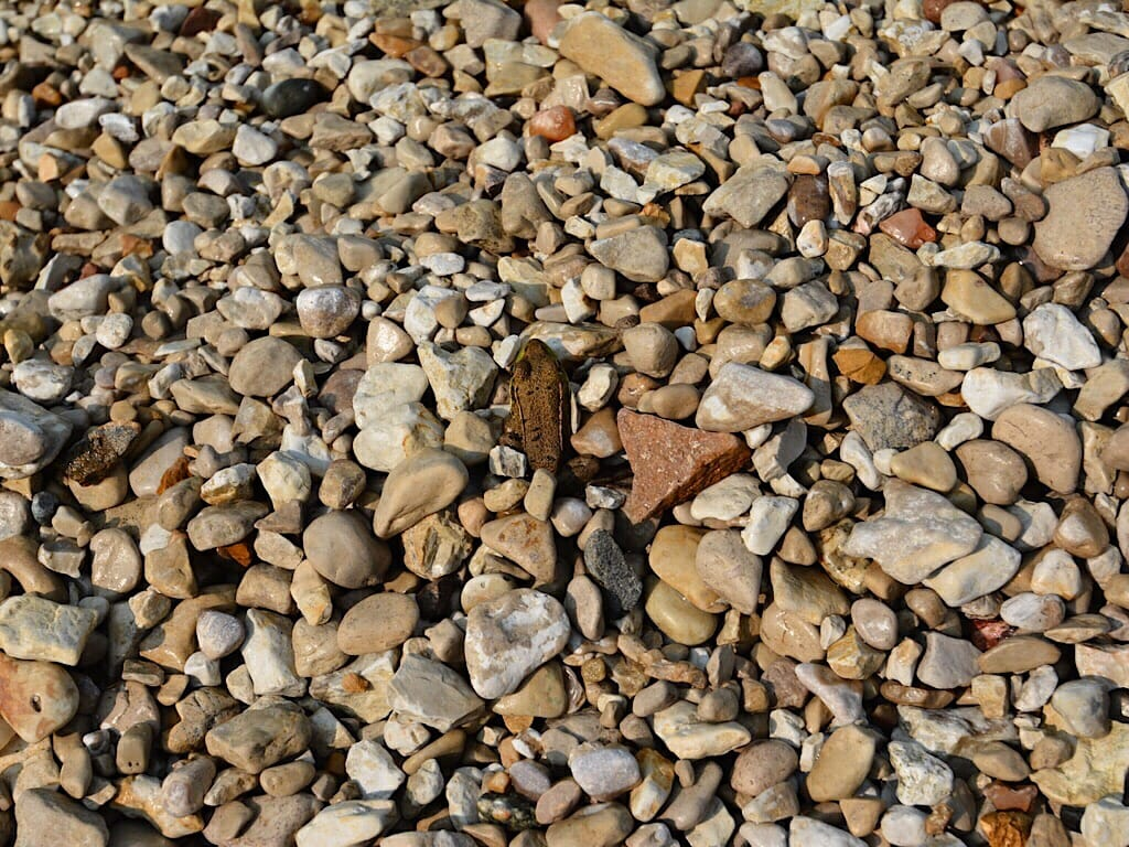 Frog on pebbled beach
