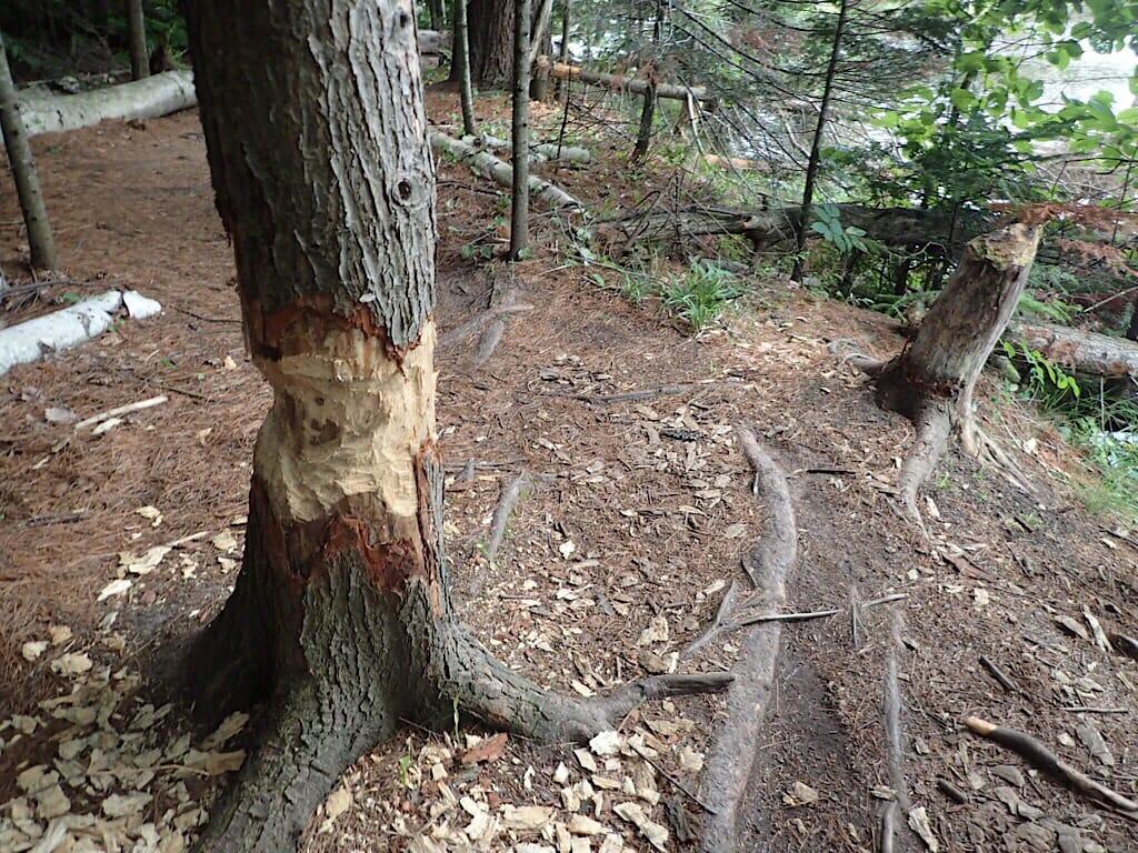 Beaver marks
