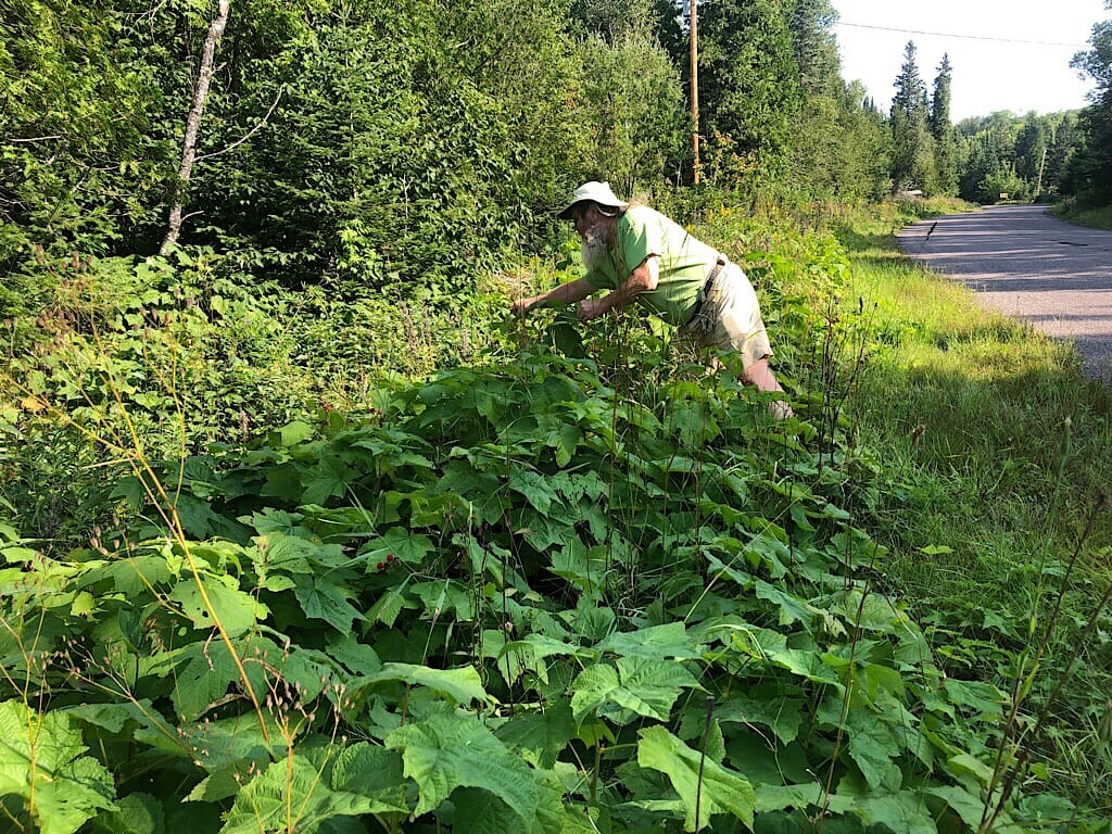 John forages for thimbleberries