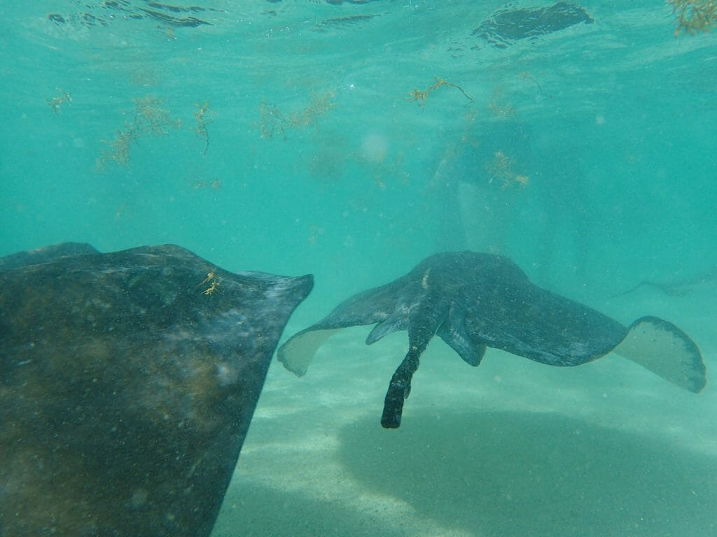 Antigua stingrays