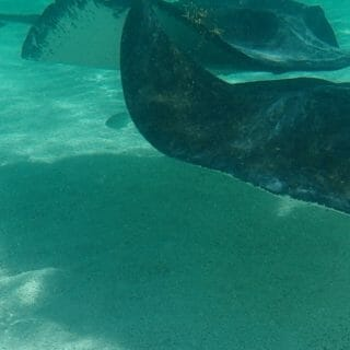 Stingrays in Antigua
