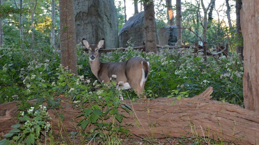 Avalon Park deer NY