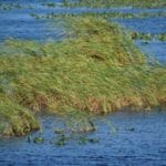 Grassy waters Lake Okeechobee