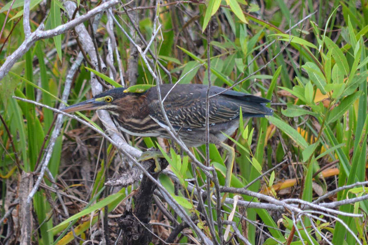 Green heron perched in willow marsh