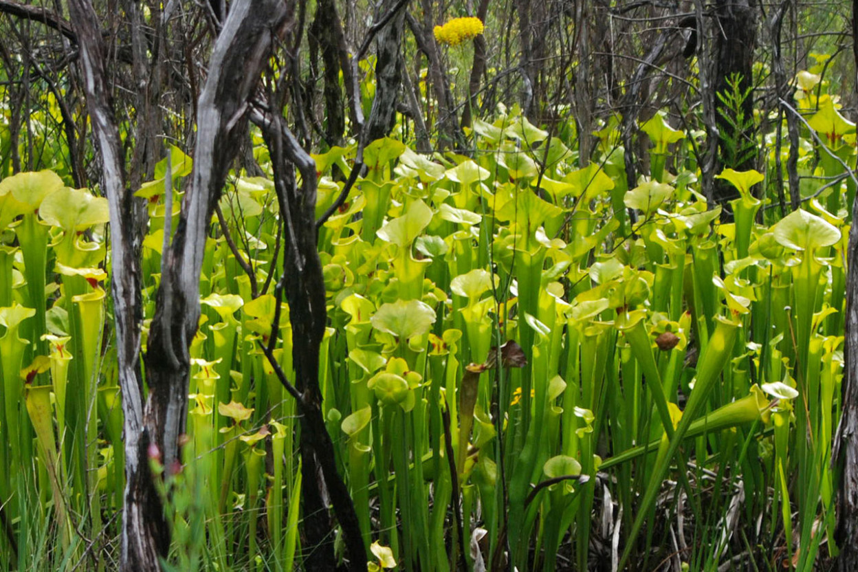 Pitcher plant cluster in wooded area