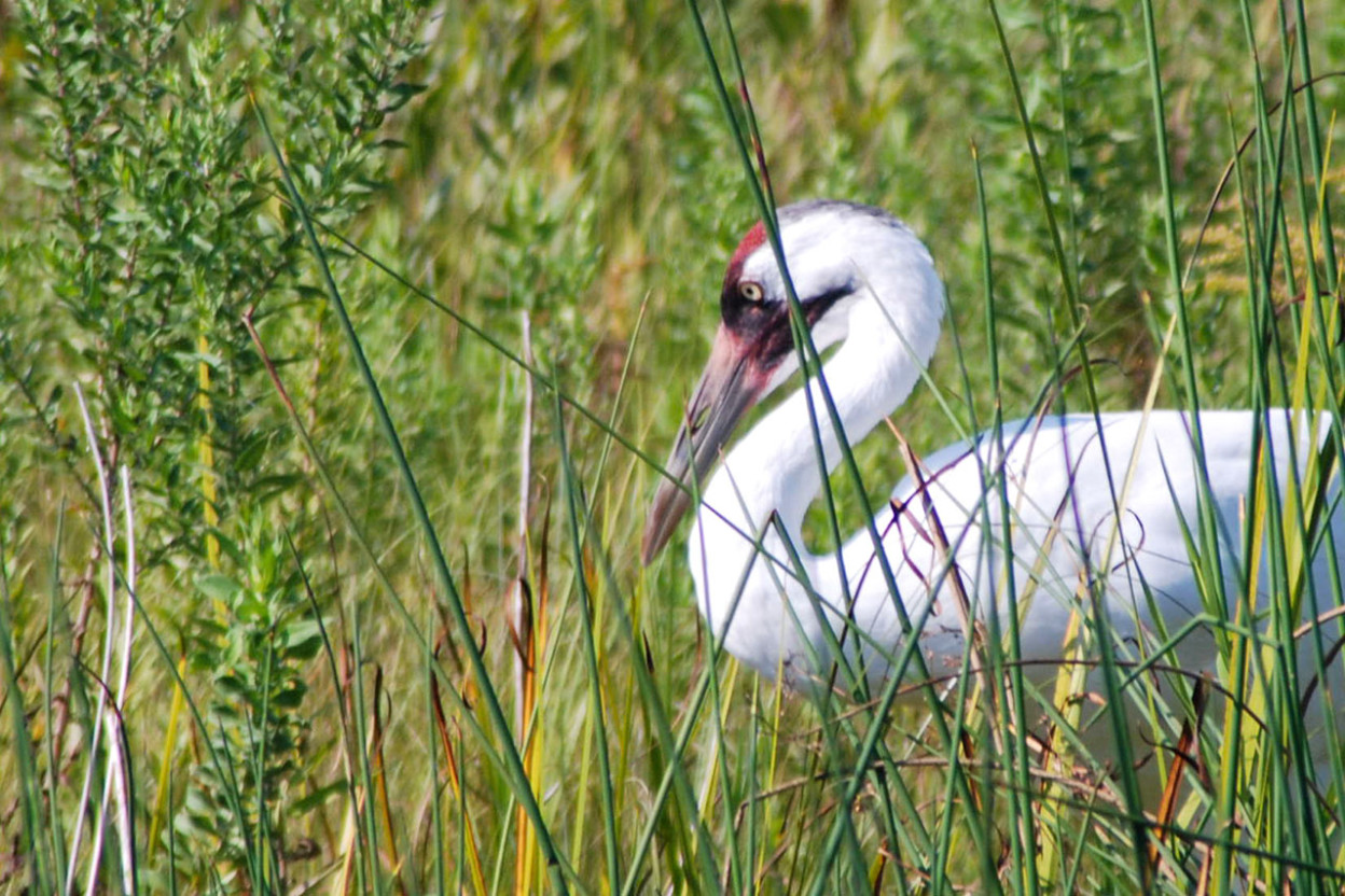 Whooping crane sitting in tall grass