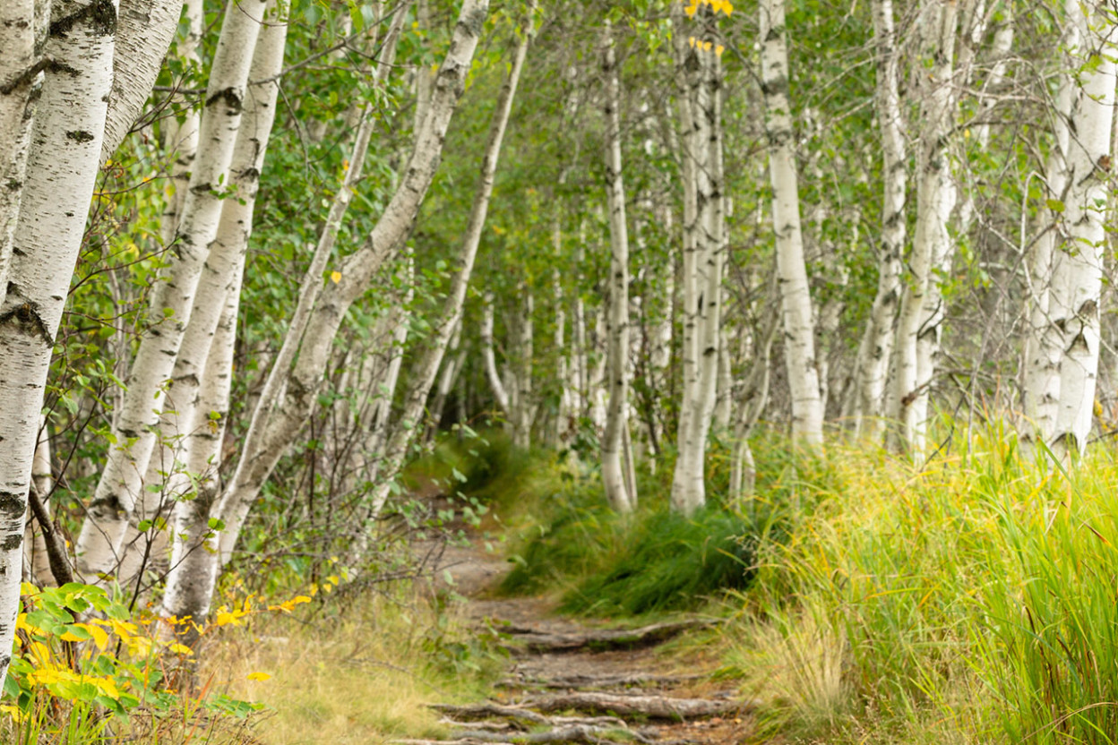 Trail between birch trees
