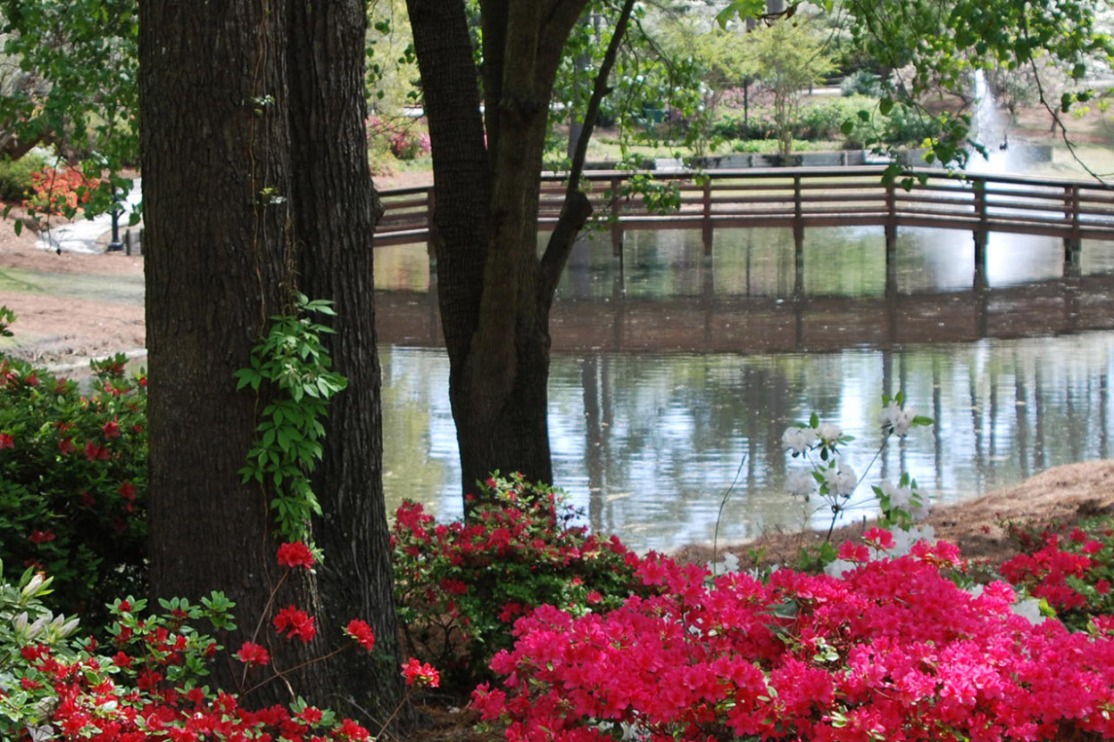 Azaleas blooming around a pond with a fountain