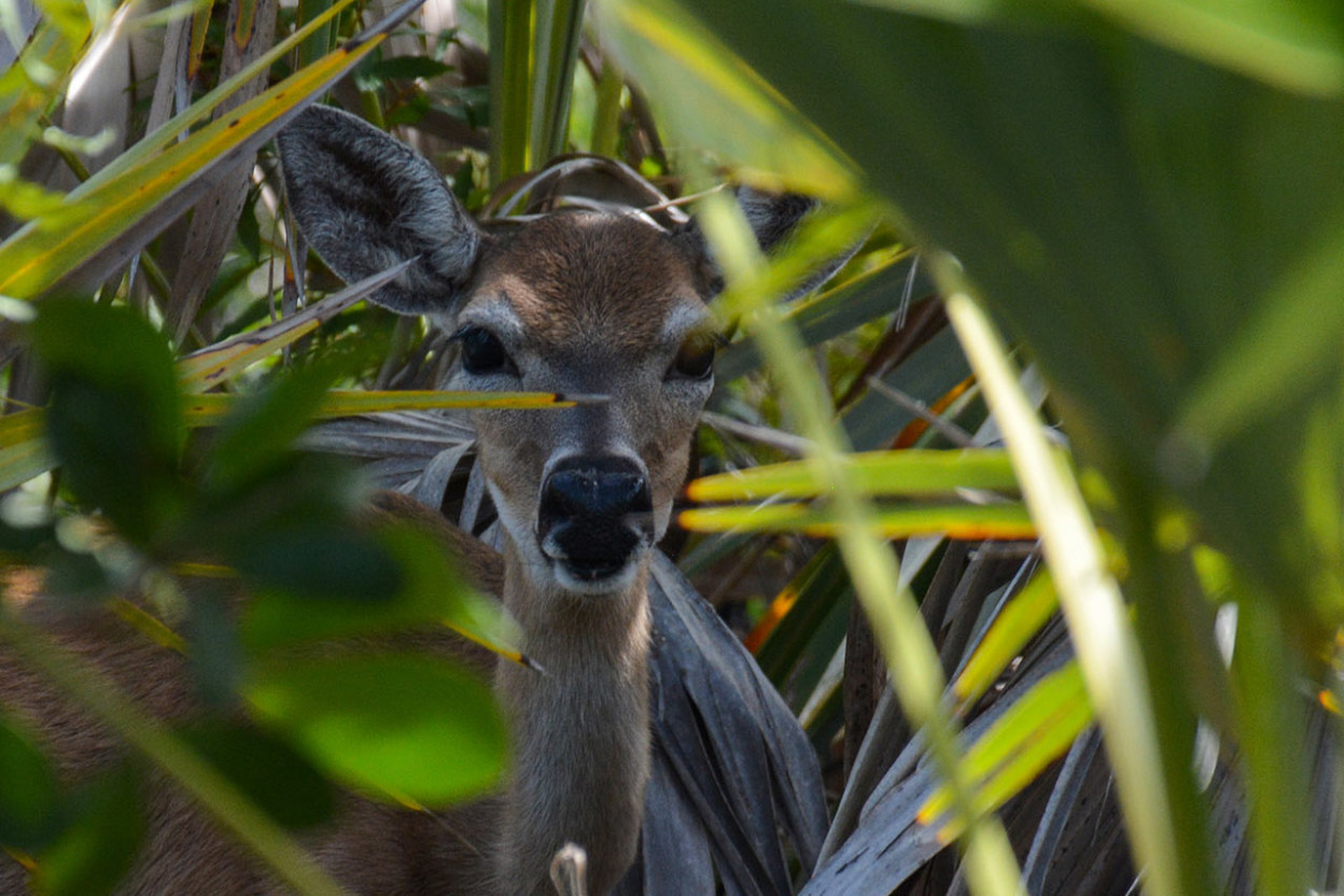 Tiny deer peeking out of palm fronds