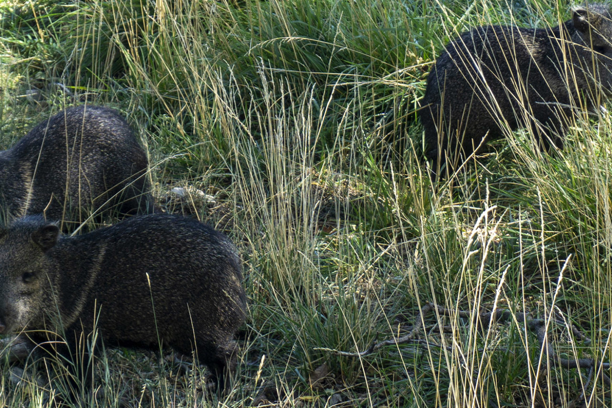 Javelinas in tall grass